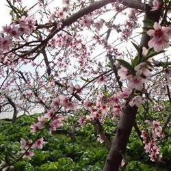 北京平谷桃花节