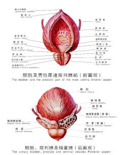 生物学男女生理结构图 男女生理结构图 生物学女人结构图-盆腔和附件