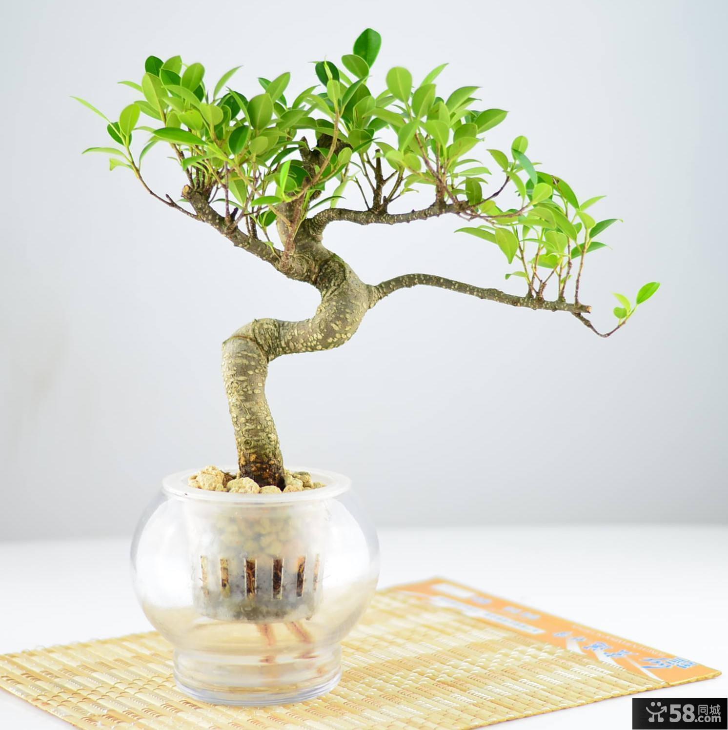 家居装饰小榕树盆景图片
